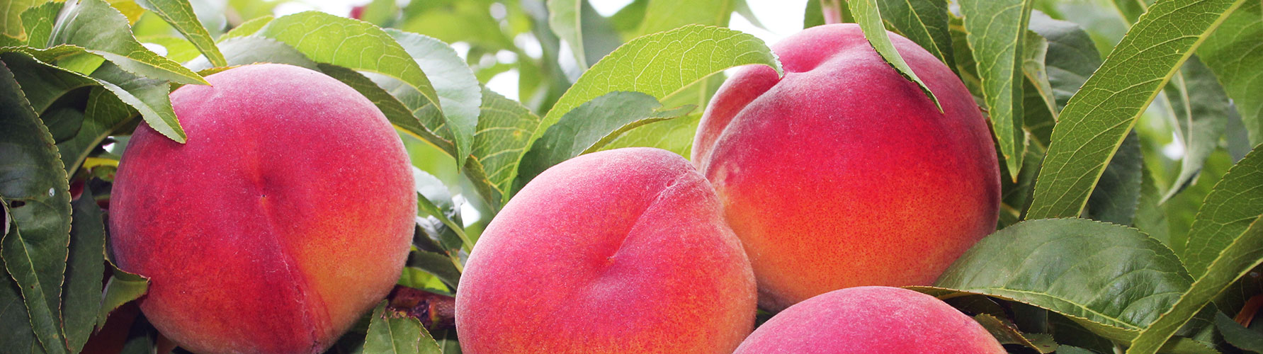 Webb's Fruit Peaches